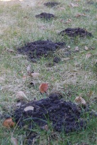 Mole hills in my front yard